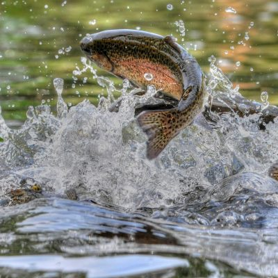 Jumping rainbow trout in Grayling Mi